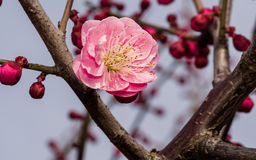 Flowes in spring series: red plum blossoming Stock Photography