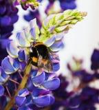 Flowes y abejorro del Lupine Foto de archivo
