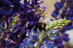 Flowes y abejorro del Lupine Foto de archivo libre de regalías