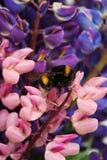 Flowes y abejorro del Lupine Imágenes de archivo libres de regalías