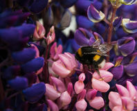 Flowes y abejorro del Lupine Fotografía de archivo