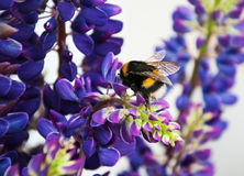 Flowes y abejorro del Lupine Fotos de archivo