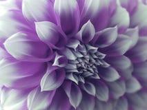Flowet de dahlia, blanc violey closeup Beau dahlia la fleur de vue de côté, le fond lointain est brouillée, pour la conception Image libre de droits
