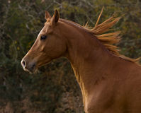 Flowing Mane. Profile of a Chestnut Arabian Gelding running Stock Images