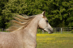 Flowing mane. Close-ep of a two year old Arabian colt running in field Royalty Free Stock Image