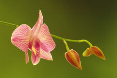 Flowing orchid. And buds Stock Photography