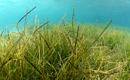 Flowing underwater sea grass in blue water Stock Images