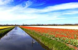 Flowrs colorés aux Pays-Bas Photographie stock libre de droits