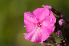Flox - één roze bloem Royalty-vrije Stock Foto