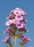 Flox alto no rosa bonito Imagem de Stock Royalty Free