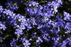 Flox azul brilhante - muito a mola pequena floresce, Botânica, fundo imagens de stock