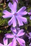 Flox azul selvagem Fotos de Stock
