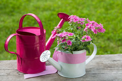 Flox cor-de-rosa Imagem de Stock Royalty Free