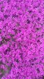Flox cor-de-rosa brilhante do rastejamento foto de stock