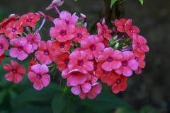 Flox cor-de-rosa no jardim em um dia ensolarado fotos de stock royalty free
