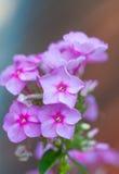 Flox da flor Fotografia de Stock