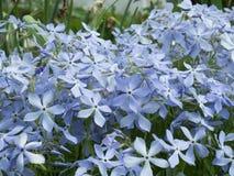 Flox la cultura comune del giardino, con le numerosi forme e varieti Immagini Stock Libere da Diritti