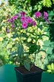 Flox purpere bloem in een pot Stock Fotografie