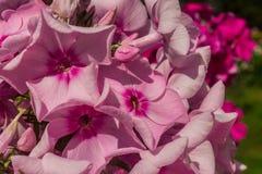 Flox rosa-chiaro Immagini Stock Libere da Diritti