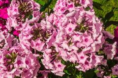 Flox rosa-chiaro Immagine Stock Libera da Diritti