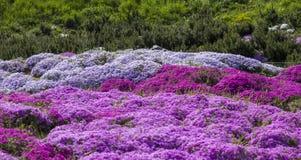 Flox roxo do rastejamento, no canteiro de flores A vegetação rasteira é usada em ajardinar ao criar corrediças alpinas e Foto de Stock Royalty Free