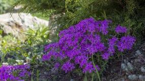 Flox roxo do rastejamento, no canteiro de flores A vegetação rasteira é usada em ajardinar ao criar corrediças alpinas e Imagens de Stock Royalty Free