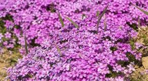 Flox roxo do rastejamento, no canteiro de flores A vegetação rasteira é usada em ajardinar ao criar corrediças alpinas e Foto de Stock