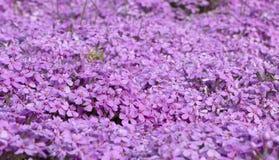 Flox roxo do rastejamento, no canteiro de flores A vegetação rasteira é usada em ajardinar ao criar corrediças alpinas e Fotografia de Stock