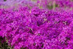 Flox roxo do rastejamento, no canteiro de flores A vegetação rasteira é usada em ajardinar ao criar corrediças alpinas e Imagem de Stock Royalty Free
