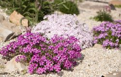 Flox roxo do rastejamento, no canteiro de flores A vegetação rasteira é usada em ajardinar ao criar corrediças alpinas e Fotos de Stock Royalty Free