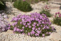 Flox roxo do rastejamento, no canteiro de flores A vegetação rasteira é usada em ajardinar ao criar corrediças alpinas e Imagens de Stock