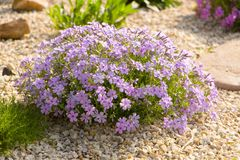 Flox roxo do rastejamento, no canteiro de flores A vegetação rasteira é usada em ajardinar ao criar corrediças alpinas e Fotos de Stock