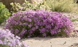 Flox roxo do rastejamento, no canteiro de flores A vegetação rasteira é usada em ajardinar ao criar corrediças alpinas e Imagem de Stock