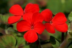 Flox vermelho Imagens de Stock