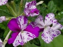 Flox in viooltje en ivoor Stock Foto