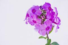 Floxdrummondii Royaltyfria Bilder