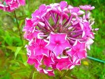 Floxen är en av våra favorit- blommakulturer Det verkar att dessa enkla arkivbilder