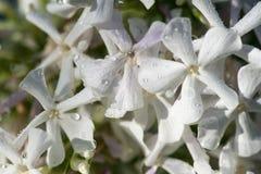 Floxen för vita blommor med vatten tappar efter det nya regnet 1 livstid fortfarande yellow för fjäder för äng för bakgrundsmaskr Fotografering för Bildbyråer