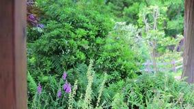 Floxgloves en esdoorn in park stock videobeelden