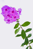 Floxinflorescences Royaltyfri Fotografi
