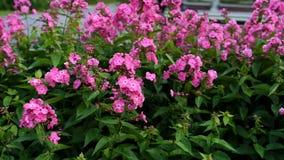 Floxpaniculata, Bubblegum variation, flox med rosa flowrs lager videofilmer