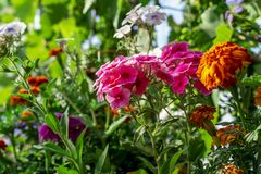 Floxpaniculata eller trädgårdfloxblommor Sommarbakgrund av blommor i trädgården Idérik tapet för bakgrund för royaltyfri foto