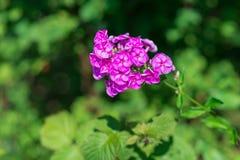 Floxpaniculata i blom Fotografering för Bildbyråer