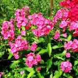 Floxpaniculatabuske med ljusa karmosinröda blommor Arkivfoton