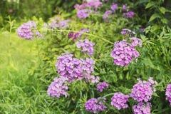 Floxrosa färgen blommar i trädgård Fotografering för Bildbyråer