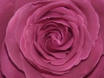 Floyd Rose rosa immagine stock