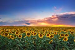 Fält av blommande solrosor på en bakgrundssolnedgång Royaltyfria Bilder