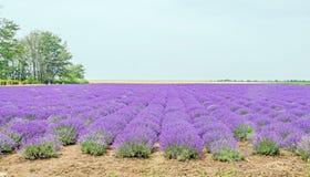 Fält av den malvafärgade purpurfärgade Lavandulaangustifoliaen, lavendel, mest gemensam riktig lavendel eller engelsk lavendel, t Royaltyfria Bilder