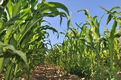Fält av majs Arkivbild