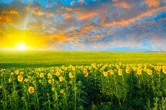 Fält av solrosor och soluppgång Royaltyfria Foton